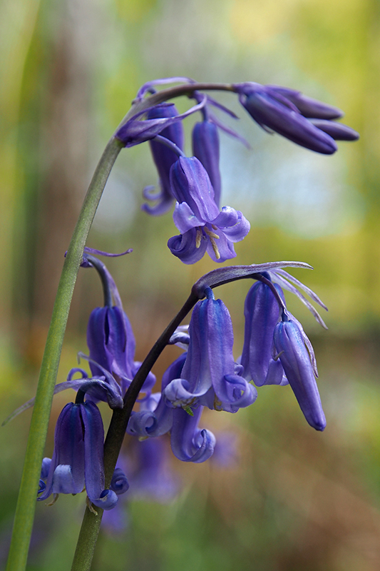 Bluebell IFW